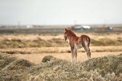 Piccolo, giovane cavallo in Islanda immagini stock