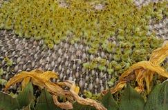 Piccolo girasole Immagini Stock Libere da Diritti