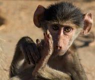 Piccolo governare del babbuino Fotografie Stock Libere da Diritti