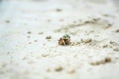 Piccolo granchio Immagini Stock