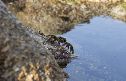 Piccolo granchio sulla roccia Fotografia Stock Libera da Diritti
