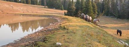Piccolo gregge dei cavalli selvaggii al bordo erboso di un waterhole di mattina nella gamma del cavallo selvaggio delle montagne  Fotografia Stock