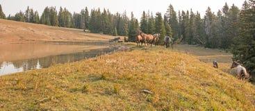 Piccolo gregge dei cavalli selvaggii al bordo erboso di un waterhole di mattina nella gamma del cavallo selvaggio delle montagne  Immagini Stock Libere da Diritti
