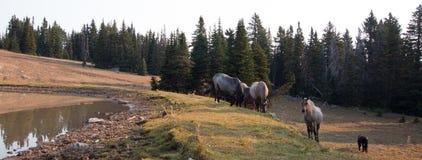 Piccolo gregge dei cavalli selvaggii al bordo erboso di un waterhole di mattina nella gamma del cavallo selvaggio delle montagne  Fotografie Stock Libere da Diritti