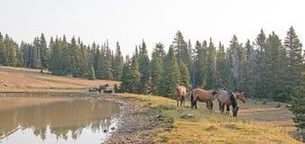 Piccolo gregge dei cavalli selvaggii al bordo erboso di un waterhole di mattina nella gamma del cavallo selvaggio delle montagne  Fotografie Stock