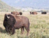Piccolo gregge del bisonte che pasce Fotografia Stock Libera da Diritti