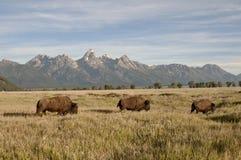 Piccolo gregge del bisonte sul movimento Immagini Stock