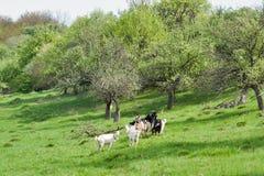 Piccolo gregge delle capre domestiche in un frutteto della molla del pascolo Fotografia Stock
