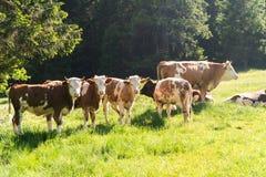 Piccolo gregge delle mucche che mangiano erba fresca su un'azienda agricola organica fotografia stock