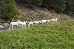 Piccolo gregge delle pecore Fotografia Stock