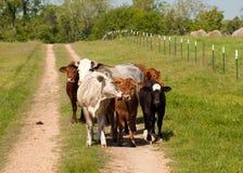Piccolo gruppo di mucche immagini stock libere da diritti