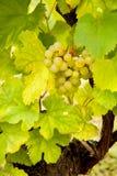 Piccolo gruppo di terminali dell'uva Fotografie Stock