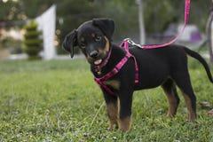 Piccolo guinzaglio rosa sveglio dolce Rottweiler Fotografia Stock