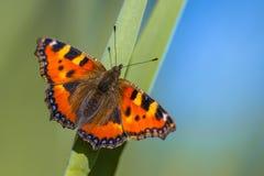 Piccolo guscio di testuggine della farfalla Fotografia Stock