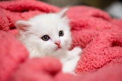 Piccolo hobby bianco piacevole della casa del gatto di animale domestico del gattino fotografia stock
