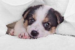 Piccolo incrocio del cucciolo Fotografia Stock