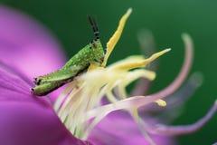 Piccolo insetto che scala sul fiore porpora Fotografie Stock Libere da Diritti