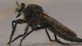Piccolo insetto di immagine dell'insetto vicino della cicala che fanno il suono fastidioso nel giorno di estate caldo immagine stock libera da diritti
