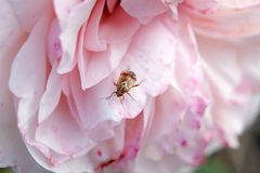 Piccolo insetto su una rosa sbocciante di rosa Fotografie Stock