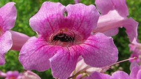 Piccolo insetto in un fiore rosa dell'arbusto di tecoma stock footage
