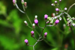 Piccolo ironweed Fotografie Stock