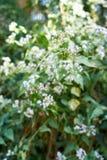 Piccolo ironweed, cinereum di Cyanthillium Fotografie Stock