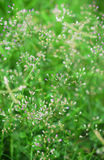 Piccolo ironweed o fleabane porpora Immagine Stock
