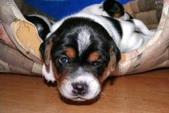 Piccolo Jack Russell Terrier Puppies immagini stock libere da diritti