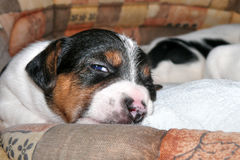 Piccolo Jack Russell Terrier Puppies fotografia stock