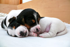 Piccolo Jack Russell Terrier Puppies immagine stock