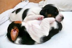 Piccolo Jack Russell Terrier Puppies immagine stock libera da diritti
