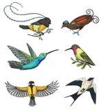 Piccolo Jacobin rufous e dal collo bianco degli uccelli del paradiso, del sorso di granaio o di martlet e del parus o del paro, d Fotografia Stock