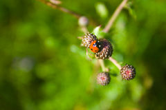 Piccolo ladybug Immagini Stock Libere da Diritti