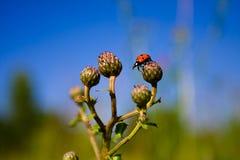 Piccolo ladybug Immagini Stock