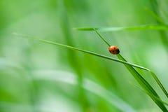 Piccolo ladybug Fotografia Stock Libera da Diritti
