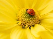 Piccolo ladybug Immagine Stock