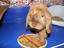 Piccolo lanuginoso rosso del coniglio bello mangia Fotografia Stock Libera da Diritti