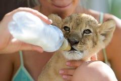 Piccolo latte alimentare del cucciolo di leone Fotografie Stock