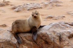 Piccolo leone marino - guarnizione di pelliccia di Brown nell'incrocio del capo, Namibia Fotografia Stock Libera da Diritti