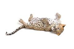 Piccolo leopardo fotografia stock libera da diritti