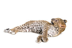 Piccolo leopardo in studio Fotografia Stock Libera da Diritti