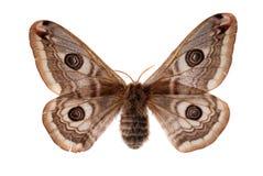 Piccolo lepidottero di imperatore Immagine Stock