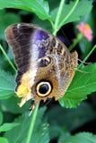 Piccolo lepidottero di imperatore Immagine Stock Libera da Diritti