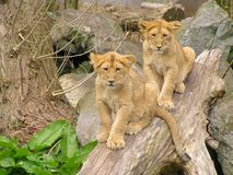 Piccolo Lion Cubs Immagine Stock