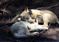 Piccolo lupo del bambino due che prende appena un pelo immagini stock libere da diritti