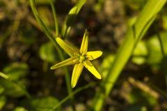 Piccolo lutea giallo di Gagea del fiore, cima gialla diStella-de-Betlemme Fotografie Stock Libere da Diritti