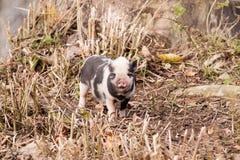 Piccolo maiale Fotografia Stock