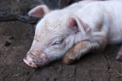 Piccolo maiale che si trova sulla sporcizia fotografie stock