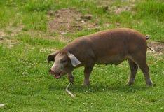 Piccolo maiale libero e felice in un campo con erba Fotografia Stock Libera da Diritti