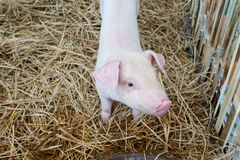 Piccolo maiale nella stalla Immagini Stock Libere da Diritti